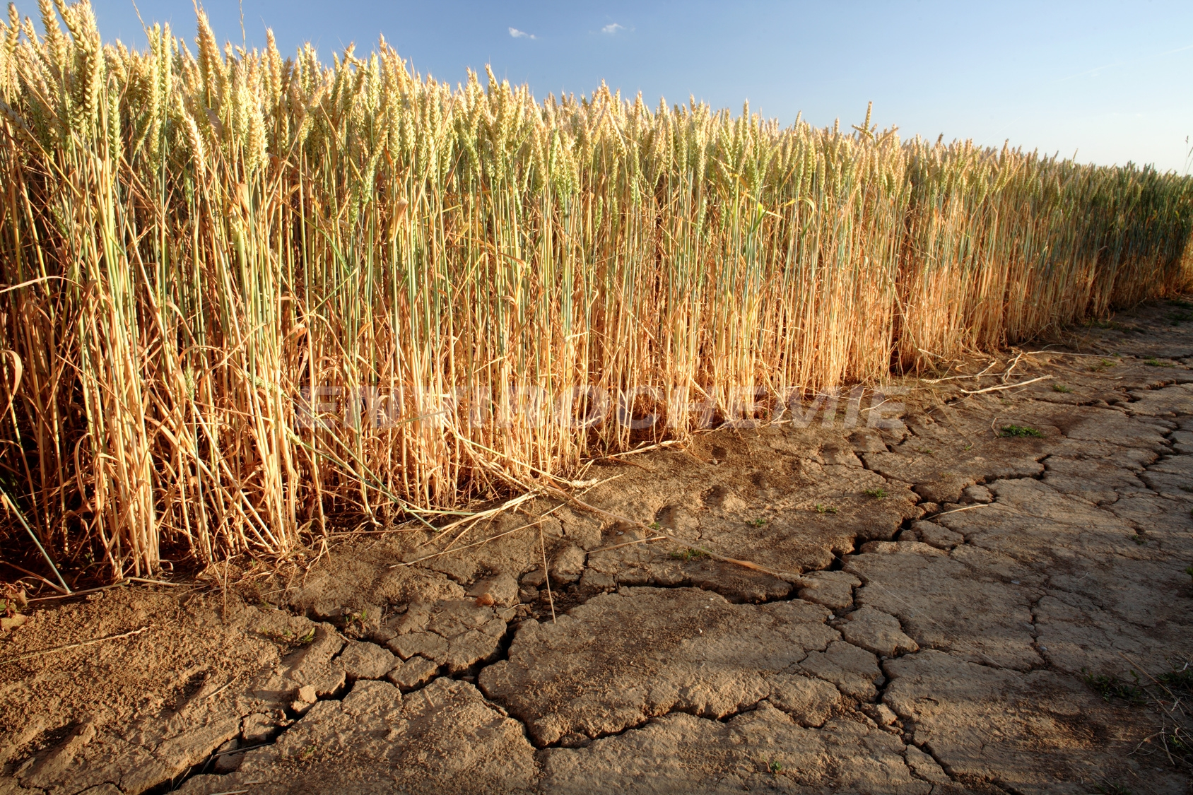 Trockenes Getreidefeld im Sommer